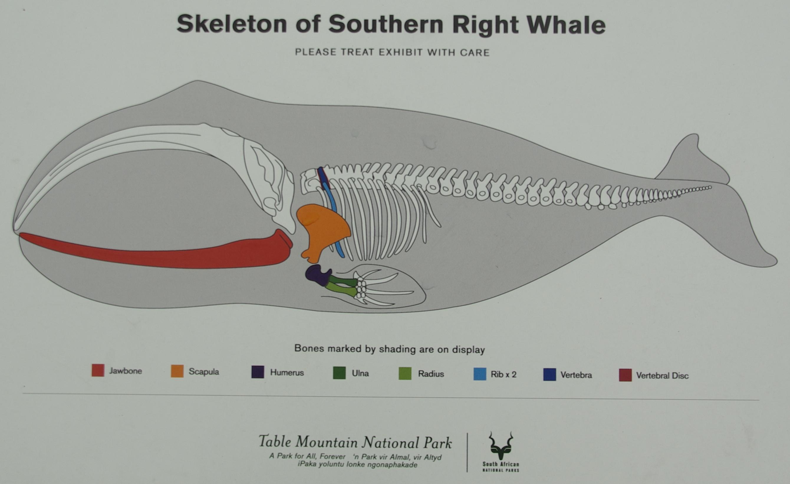 right whale skeleton - photo#14